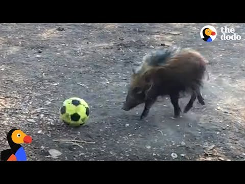 il-potamocero-che-gioca-a-pallone-con-gli-amici