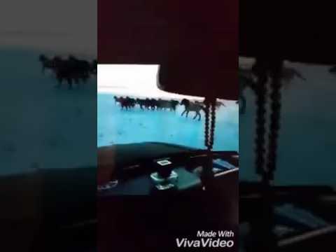 Өвөрмонгол малчны морьдыг дайрч буй бичлэг шуугиан тарьж байна