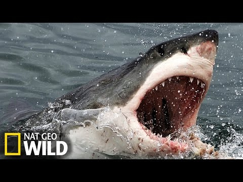 Un grand requin blanc attaque un éléphant de mer