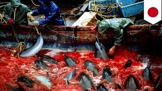 Taiji Japan  city photos gallery : Japan dolphins slaughter: More than 200 dolphins to be killed at Taiji cove