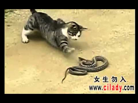 Amazing fight, Look Carefully! Cat wins or snake wins?