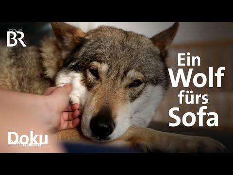 Zwischen Wolf und Hund: Wie gefährlich sind Wolfshybr ...