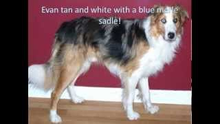 About the Border Collie