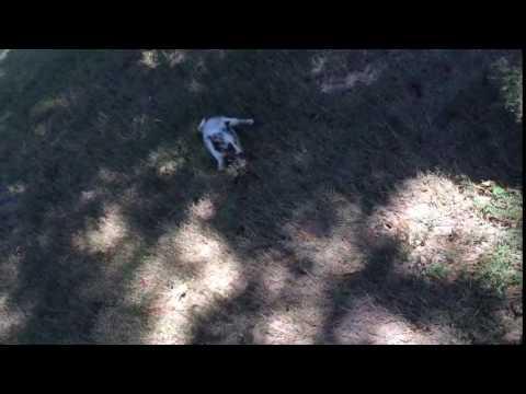 AKC Blue Merle Male Shetland Sheepdog