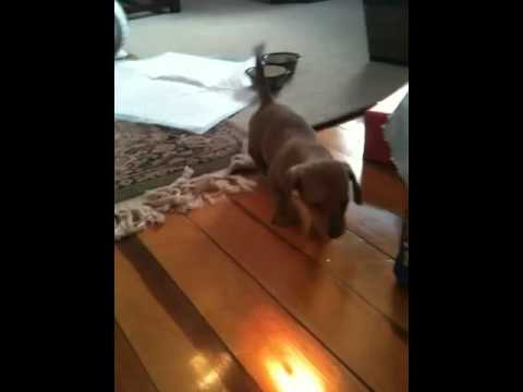 Brave Puppy