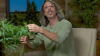 "Video Cannabis Super-Cropping: Kyle Kushman's ""Chiropractic"" Plant Training Method / Green Flower MP3, 3GP, MP4, WEBM, AVI, FLV September 2019"
