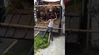 Video Penurunan sapi qurban patungan MASJID ALHIDAYAH 11-08-2018 MP3, 3GP, MP4, WEBM, AVI, FLV Agustus 2019
