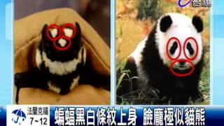 罕見物種黑白「貓熊蝙蝠」現身