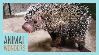 Late Night Hangout With Kemosabe the Porcupine! by Animal Wonders