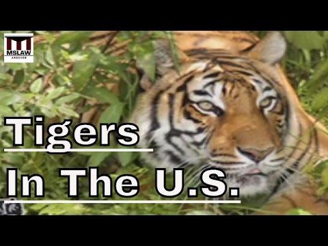 Die Lage der Tigers in den USA -. Der Handel mit exotischen Tieren  in Amerika
