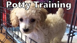 How To Potty Train A Poodle Puppy - Poodle Potty Training Tips - House Training Poodle Puppies Fast