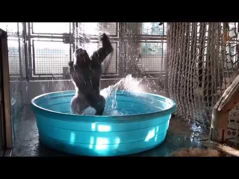 Gorilla sai uima-altaan aitaukseensa – Riehakas tanssi starttasi heti!