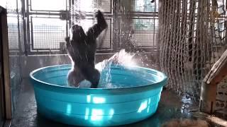 Breakdancing Gorilla Enjoys Pool Behind-the-Scenes