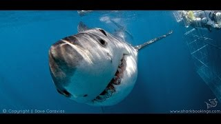 Hermanus South Africa  city images : SHARK CAGE DIVING | 22ND BIRTHDAY | SOUTH AFRICA