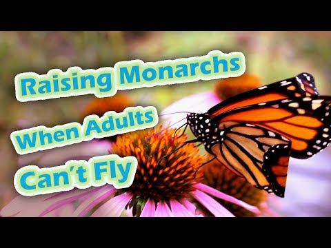 Raising Monarchs - When Adults Can't Fly (Help The Monarch Butterfly)