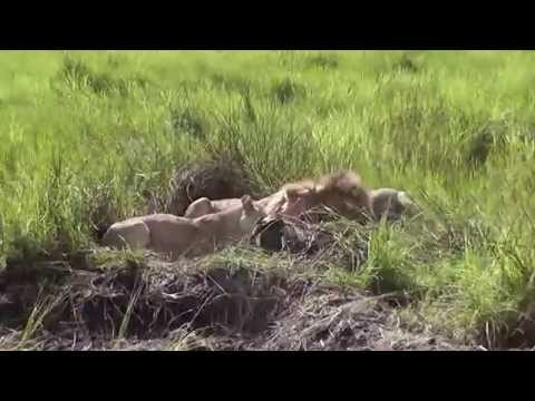 Video lion kill warthog download in MP3, 3GP, MP4, WEBM, AVI, FLV January 2017