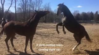 When a mare thinks she's Godzilla!