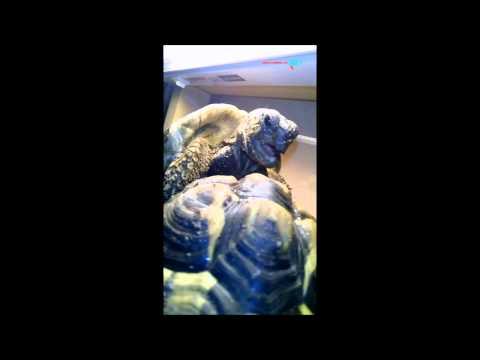 Jak želva vydává zvuky