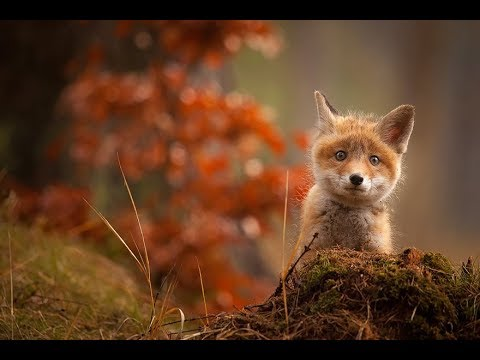 Funny cat videos - Top Cutest BABY FOX (Cubs) Videos Compilation 2018 [BEST OF]