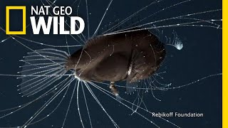 First-Ever Footage of Deep-Sea Anglerfish Mating Pair | Nat Geo Wild by Nat Geo WILD
