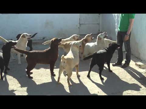 La manada de labradores Almargen