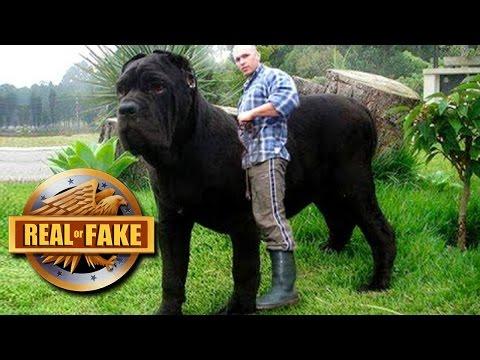 WORLD'S BIGGEST DOG 2017 - Real or Fake