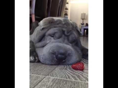 Σκυλάκι εναντίον φράουλας