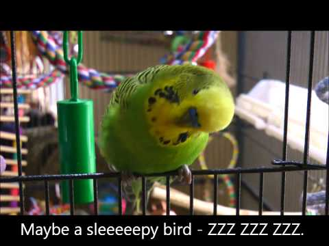 parakeet - Yes, yes, he still loves the word