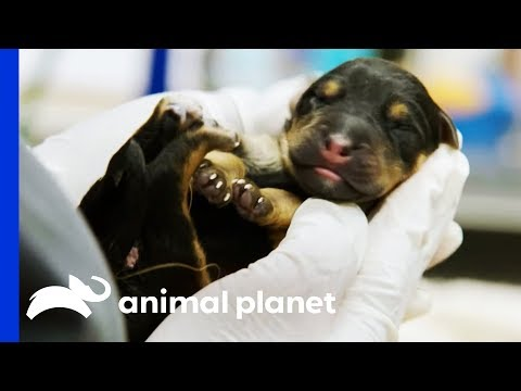 Vets Try To Save Two Rottweiler Pups Delivered By Emergency C-Section | The Vet Life