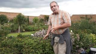 #476 David Austin Roses 2011 - Rückschnitt Englischer Rosen nach 1. Blütenflor