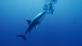 Scuba Diving with Great White Sharks