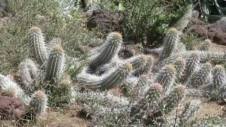 砂漠を這いながら動き回るユニークなサボテン「地を這う悪魔」