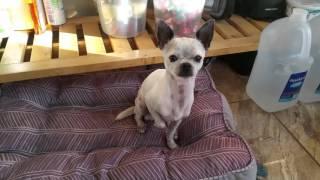 Video Well trained Chihuahua performing tricks MP3, 3GP, MP4, WEBM, AVI, FLV November 2018