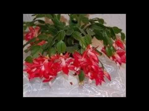 Новогодний цветок — декабрист или кактус Шлюмбергера
