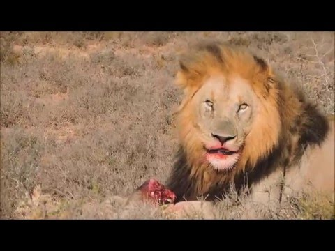 Video Lion bites off Warthogs head download in MP3, 3GP, MP4, WEBM, AVI, FLV January 2017