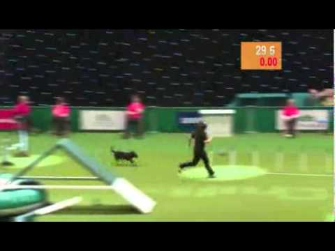 Dog Poops in agility competition
