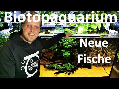 Seltene Fische im BIOTOPAQUARIUM - Sandhügel-Zwergcich ...