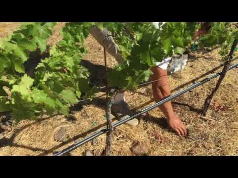 NPK Values and Fertalizing Your Residential Vineyard Without an Injector
