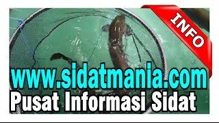 Video Ikan Sidat Sogili Tentena Poso (Danau Poso) dari Jenis Marmorata MP3, 3GP, MP4, WEBM, AVI, FLV November 2017