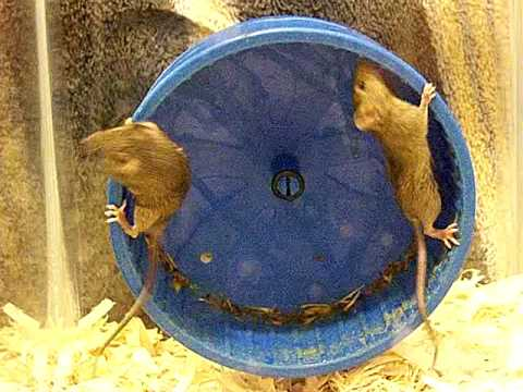 Funny Mice share Wheel
