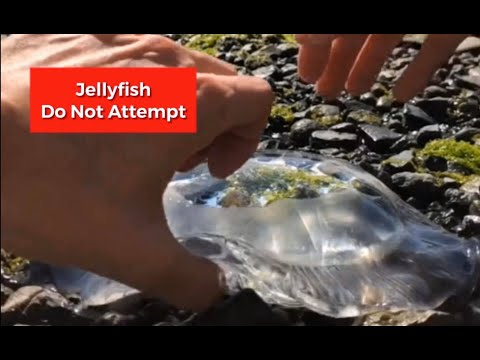 Picking Up Jellyfish With Bare Hands