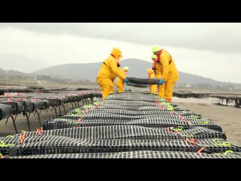 Farming Oysters at Carlingford Lough | 11