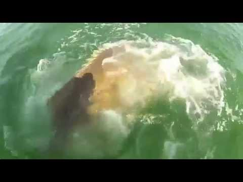 Cá mú khổng lồ nuốt cá mập =))