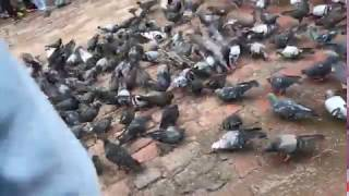 Large number of pigeon