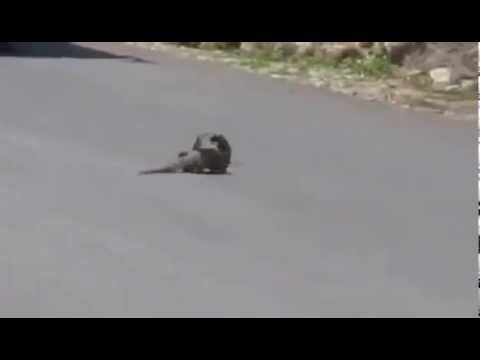 Mongoose hunts Cobra on the road _ Pelea entre cobra y mangosta ...quien gano ? sorprendente