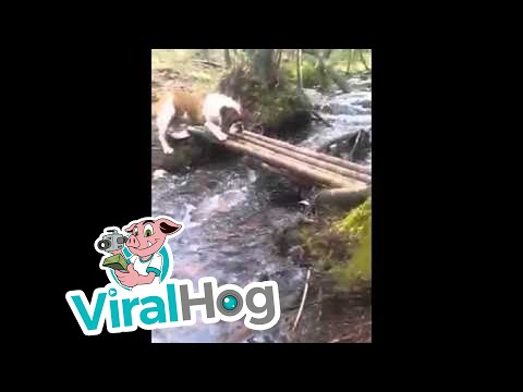 POOCH TRIES TO FIGURE OUT HOW TO CROSS A RIVER