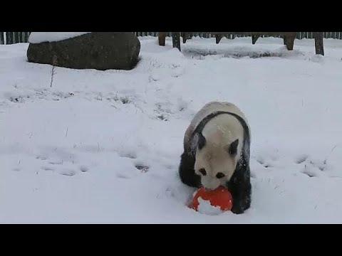 Harbin/China: Pandas spielen und schlagen Purzelbäume im Schnee