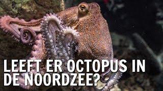 Leeft er octopus in de Noordzee? | De Buitendienst over de Octopus