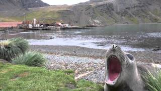 Lol, You Must Watch This Screaming Seal!