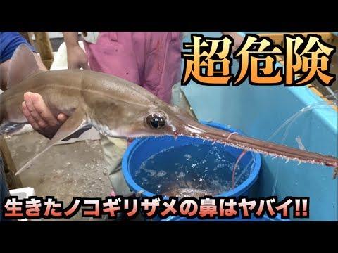 危険!!生きたノコギリザメを下手に扱うと肉エグられるゾ!!